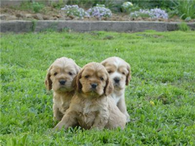 CockerSpanielpuppiesAKCregisteredforsale