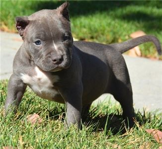 CutiesPitbullPuppies