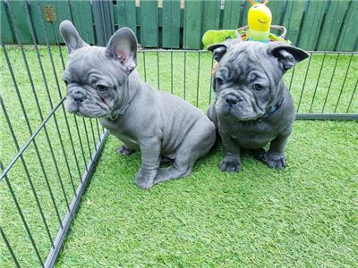 FrenchBulldogpuppies-