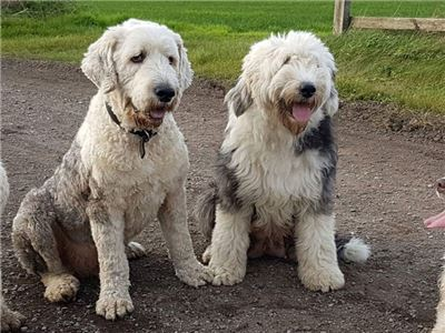 oldenglishSheepdogforhomes