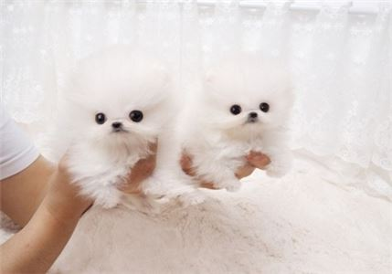 Micro Tiny Teddy Bear-Face Teacup Pom puppy!  3