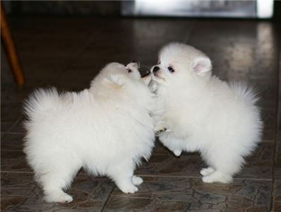 BeautifulPomeranianpuppiesAvailable