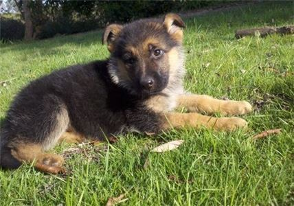 GermanShepherdPuppiesforsaleInMountainCity