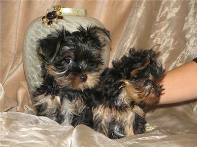 YorkiePuppiesreadyforxmass