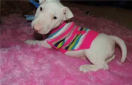 Bull Terrier Puppies for sale In Clyde Hill Washin