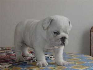 ENGLISHBULLDOGPUPPIESFORADOPTIONENGLISHBULL