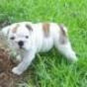Two lovely english bulldog puppies for adoption