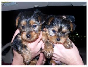 Lovelyandcuteyorkiepuppiesforgoodhomes