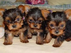 ThreeAdorableTeacupYorkiePuppiesForAdoption
