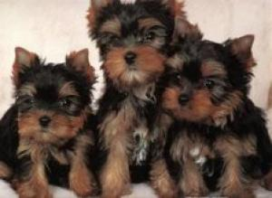 TeaCupYorkiePuppiesforfreeadoption