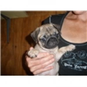 Akcpugpuppiesforadoption