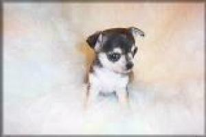 CuteChihuahuaPuppiesForFreeAdoption