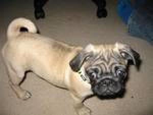 cutepugpuppiesforadoption