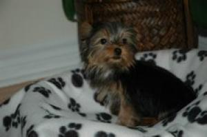 Lovely & Registered YORKIE Puppies For Adoption.