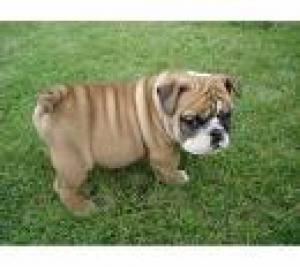 EnglishBulldogPuppyForFreeAdoption