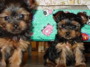 twoteancupyorkiesforadoption
