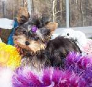 Outstandingyorkiepuppiesforadoption