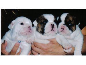 englishbulldogforadoption