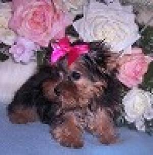 PottytrainedTeacupYorkiepuppiesforadoption