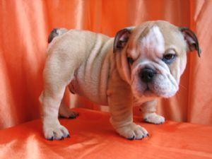 ChampionBloodLinesEnglishBulldogsforadoption