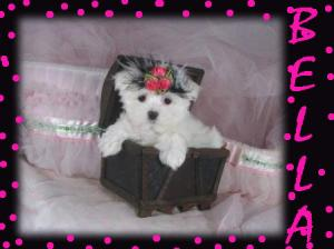 Cuteandhealthymaltesepuppiesforadoption