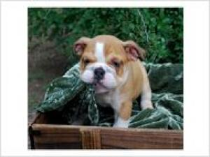 sweetenglishbulldogforadoption