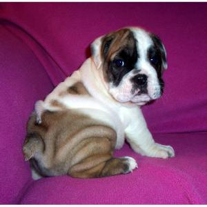Gorgeous English Bulldog Puppies Ready for Adoptio