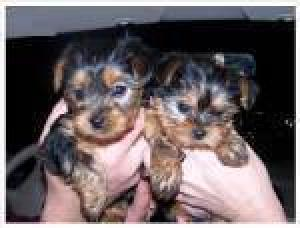 Free Yorkie Puppies For Good Home.