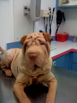BeautifulAKCRegisteredChineseSharpei