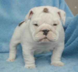 BULLDOGPUPPIES