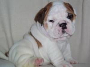 CuteEnglishBulldogPuppies
