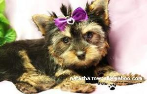 CuteYorkiePuppiesForsell