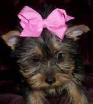 cuteteacupyorkiesforadoptioneach