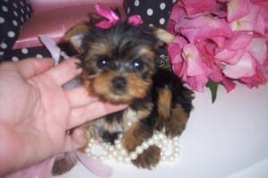 lovelyyorkiepuppiesforadoption