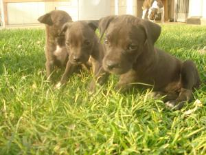 BlueNosePitBullTerrierPuppies