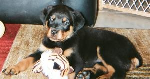 Full Blood Rotti puppies