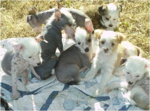 ChineseCrestedPuppies