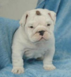 Englishbulldogpuppies