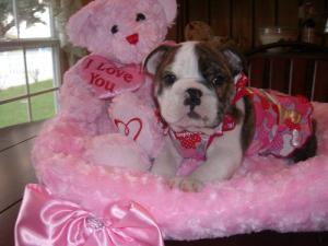 lovelyenglishbulldogpuppiesforsale