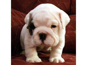 OutstandingQualityBulldogPuppywithChampionbl