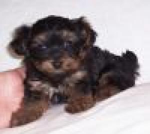 cutexmasteacupyorkiesforfreeadoption