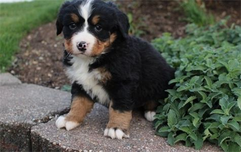 Mijue Bernese Mountain Dogs Puppies for sale In Ar