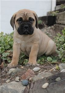 Pjuie Bullmastiff Puppies for sale In Charlestown
