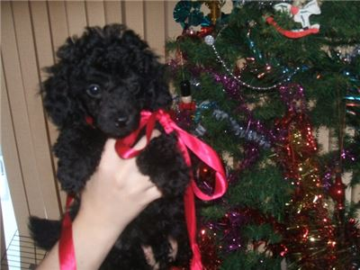 Qbjje Poodles Puppies for sale In Belchertown Mass