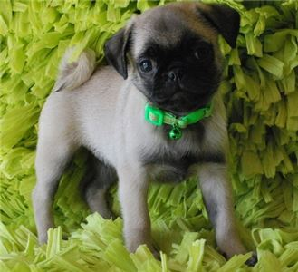 Kunue Pugs Puppies for sale