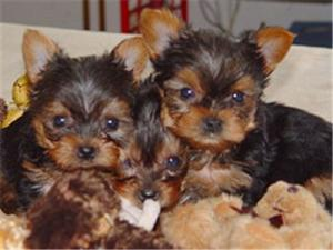 freeTeaCupYorkiepuppies