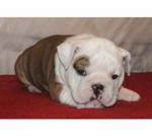 QualityEnglishbulldogpuppies