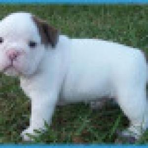 ENGLISHBULLDOGPUPPYFORADOPTION