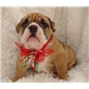 ADORABLEENGLISHBULLDOGFORADOPTION