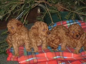 AKC Toy Poodles